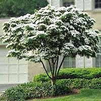 Dogwood Kousa Beautiful Ornamental Flowers That Bloom