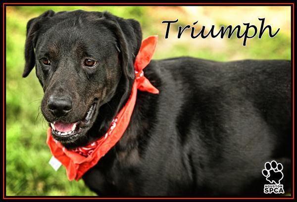 Meet Our Pet Pick Of The Week His Name Is Triumph He S A 3 Year Old Lab Cross With A Great Smile And Tons Of Perso Great Smiles Adoption Options Quality Time