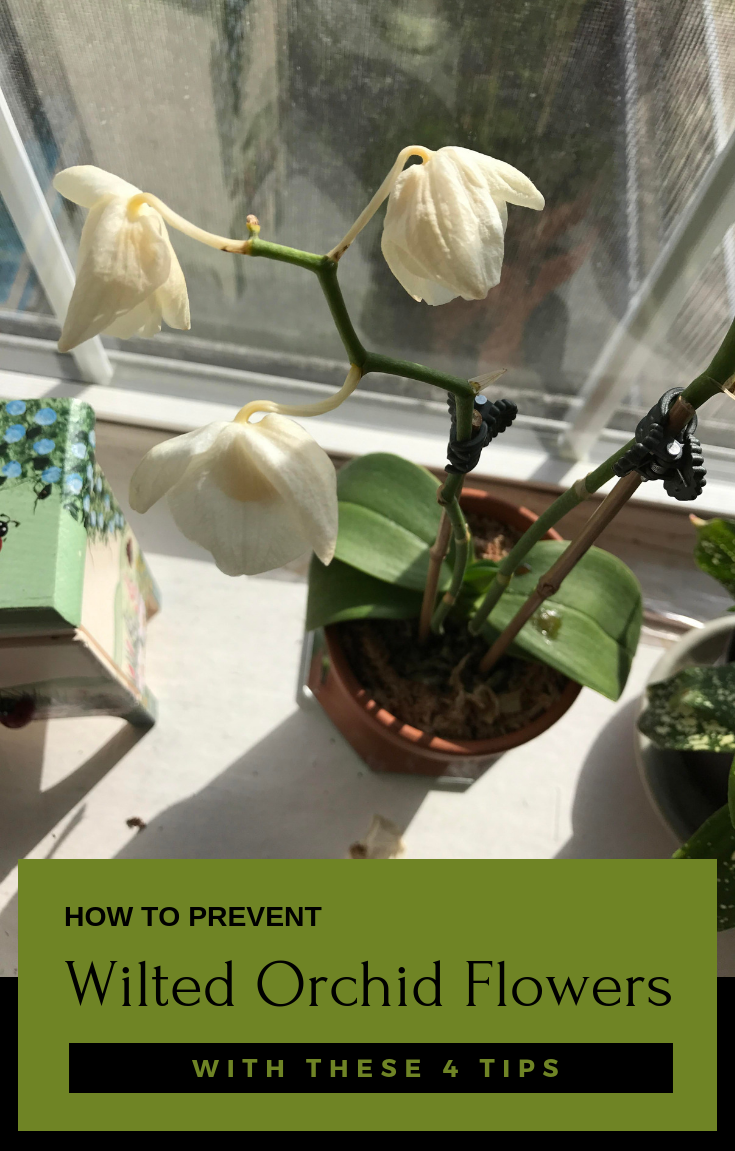 How To Prevent Wilted Orchid Flowers With These 4 Tips Cymbidium Orchids Care Orchid Leaves Orchid Flower