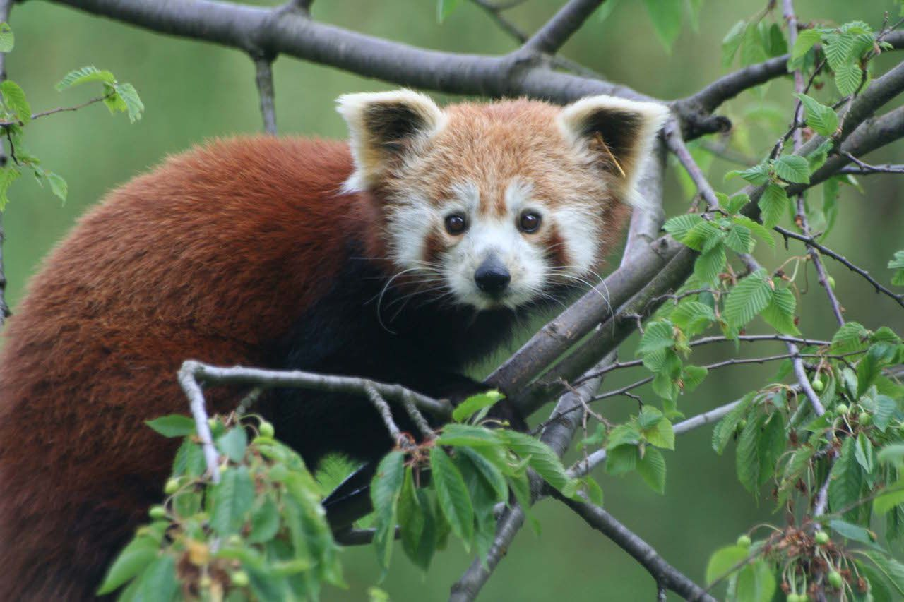 Red Panda, Ähtäri Zoo in Finland