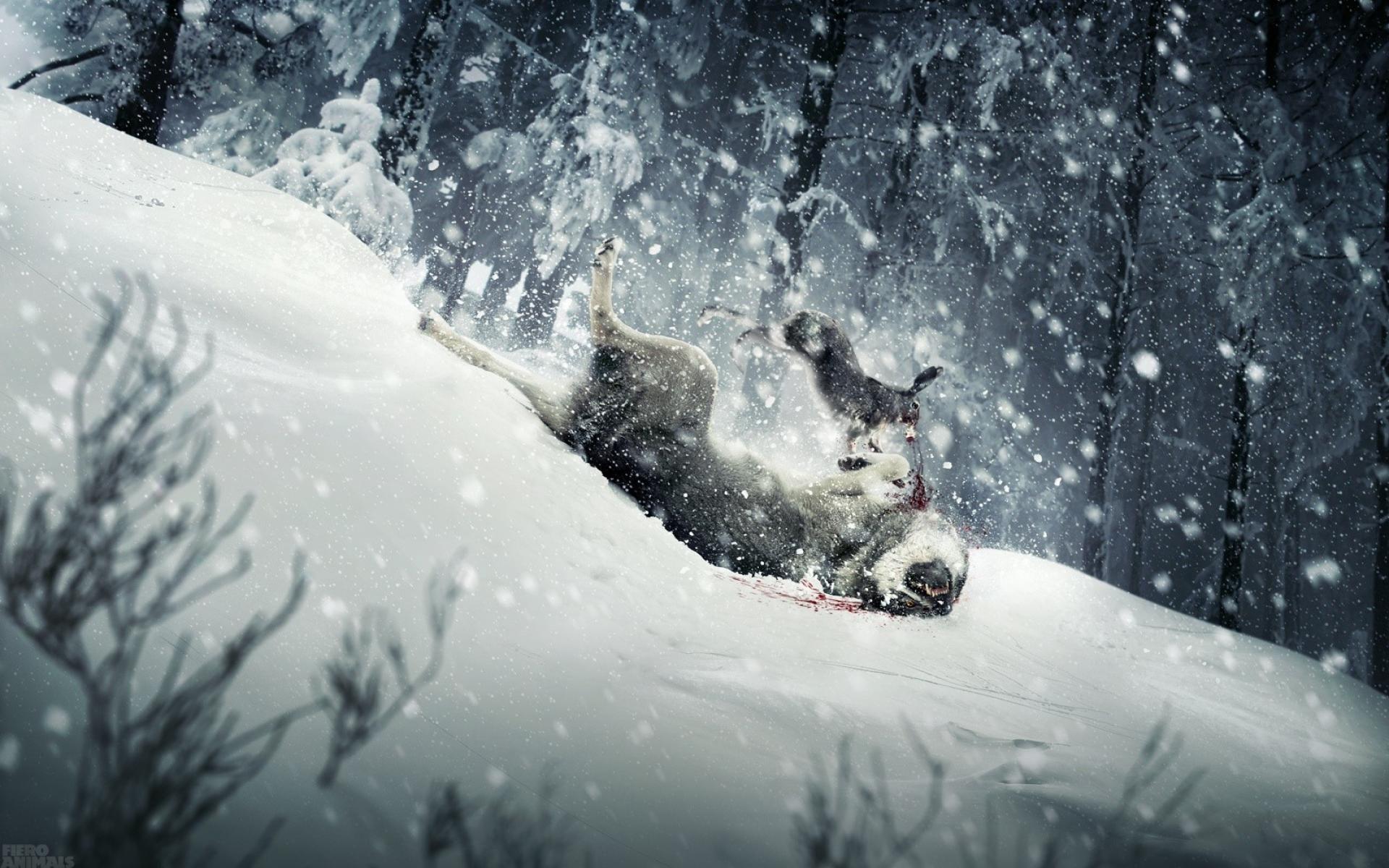 Rabbit Fighting Wolf Wallpaper Snow Winter Rabbit Wolf