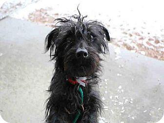 Denver Co Welsh Terrier Meet Monty A Dog For Adoption Pets Welsh Terrier Dog Person