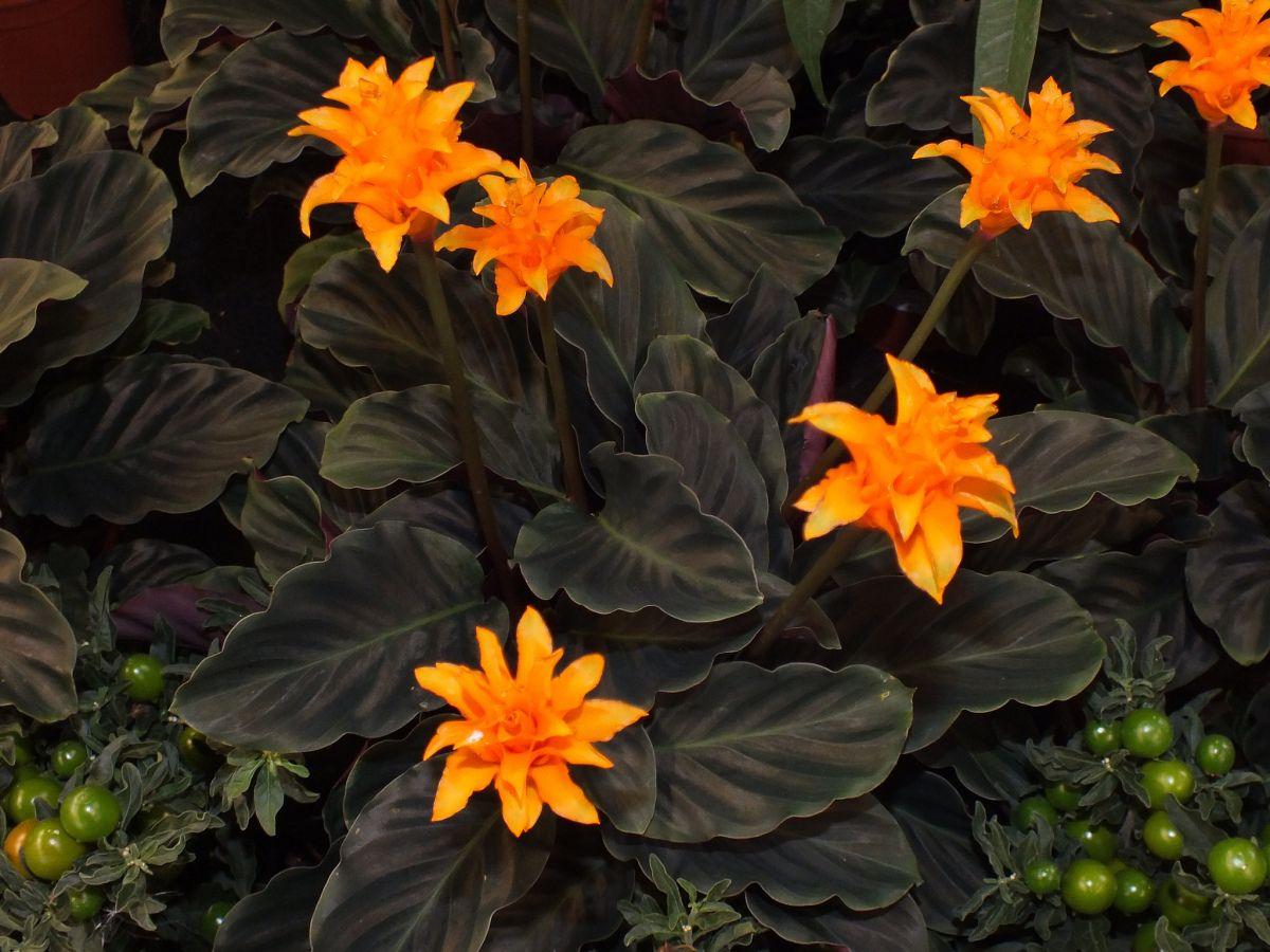 Калатея (36 фото): уход в домашних условиях http://happymodern.ru/kalateya-uxod-v-domashnix-usloviyax-36-foto-kak-ugodit-kapriznoj-krasavice/ Яркое цветение калатеи шафранной