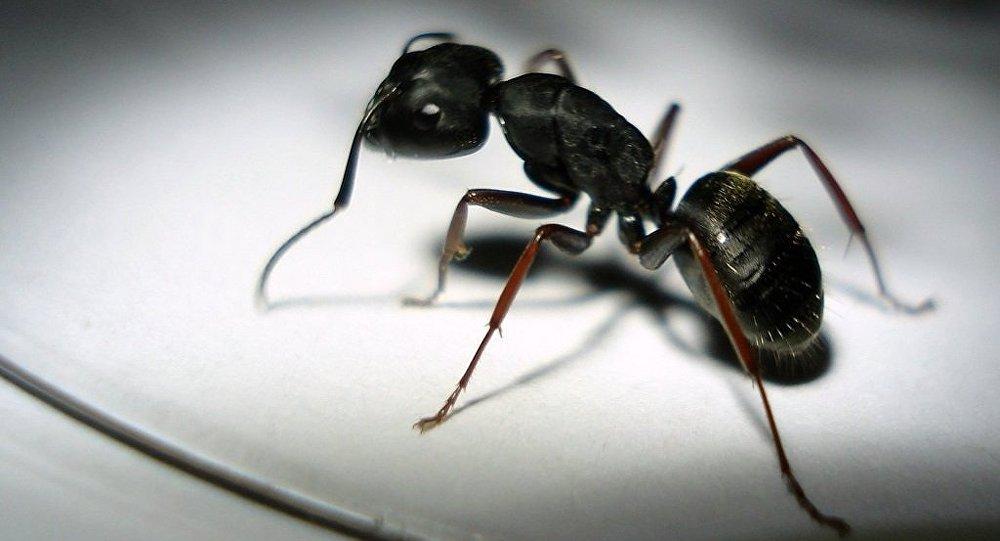 Un million de fourmis construisent un pont pour attaquer un nid de guêpes (vidéo) - Sputnik France