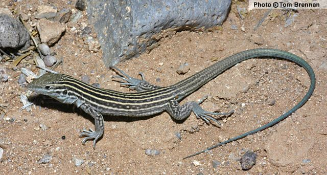 Lizard Reptiles Reptiles And Amphibians
