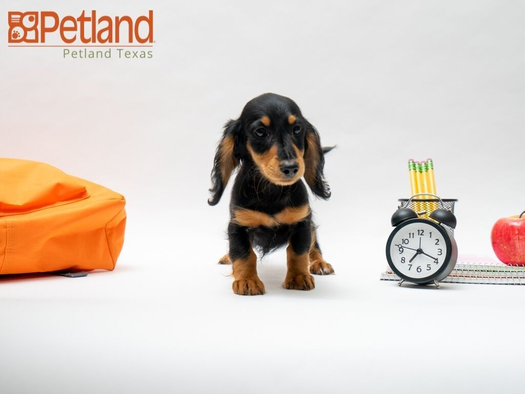 Petland Texas Has Dachshund Puppies For Sale Check Out All Our