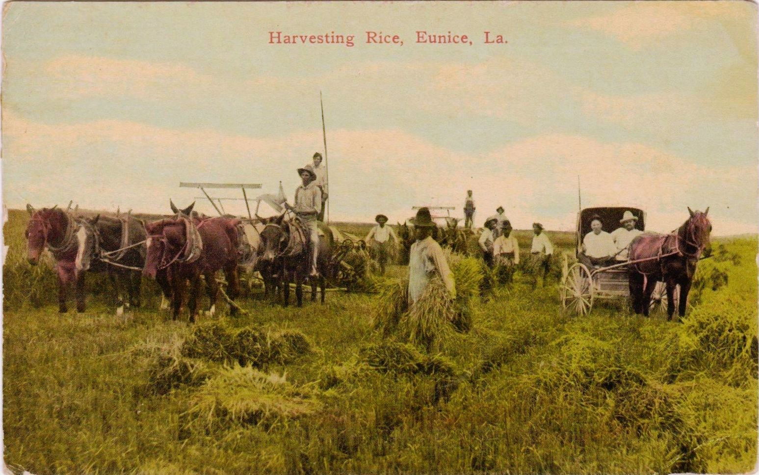 Vintage Picture Postcard Eunice Louisiana Harvesting Rice Ca