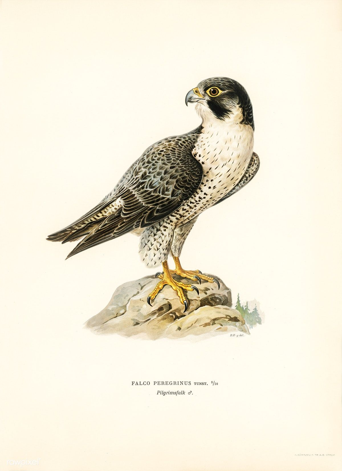Peregrine Falcon Falco Peregrinus Illustrated By The Von Wright Brothers Digitally Enhanced From Our Vintage Bird Illustration Bird Illustration Falcon Art