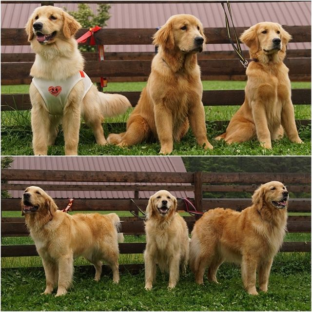 Pin By Painless Amu On Goldens I Love Dogs Golden Retriever Pet Dogs