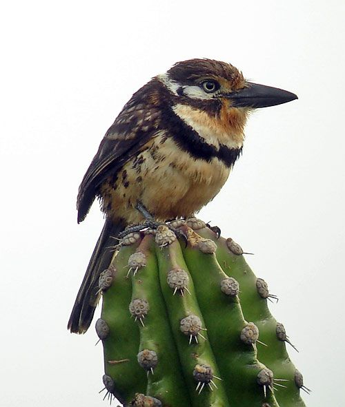 Russet-throated Puffbird, northern Colombia and extreme northwestern Venezuela
