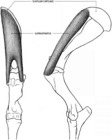 Left Leg Anatomy Thigh | Horse | Pinterest | Leg anatomy, Anatomy ...