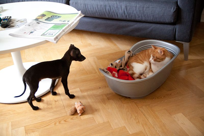 Italian greyhound and cat