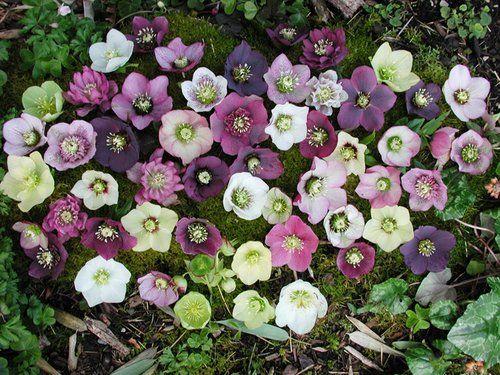 Crochet Hellebore Flower Winter Plants Beautiful Bouquet Of Flowers Winter Garden