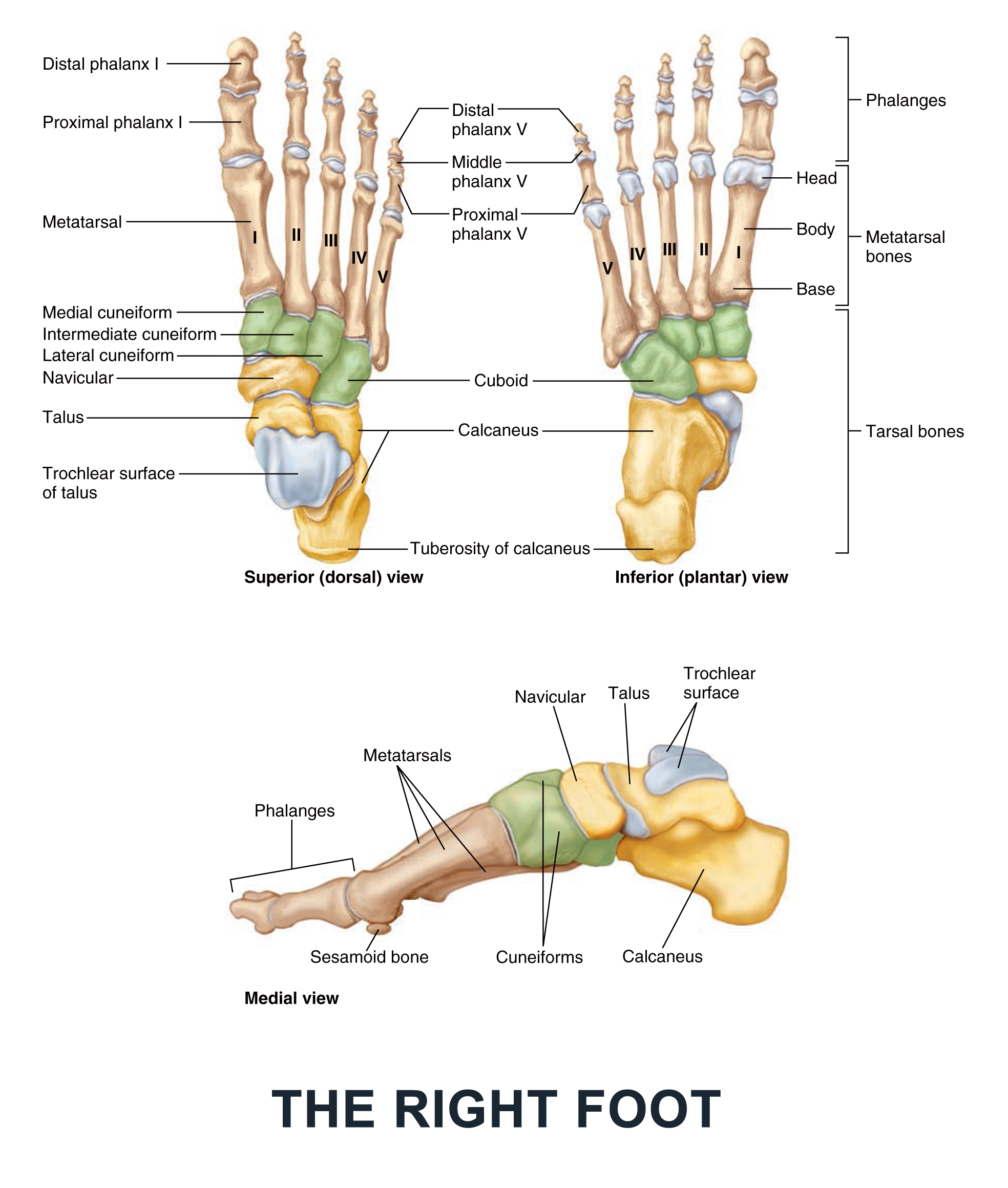 The Right Foot - #anatomy images illustrations #anatomy images ...