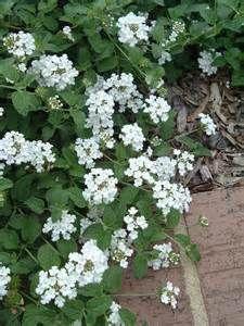 Lantana Montevidensis Alba Trailing Lantana White Trailing Lantana Full Sun Lantana Plants Azaleas Landscaping