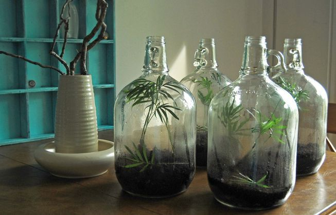 The leafy plants in these gallon glass jugs are known as parlor palms, and they make excellent terrarium plants.
