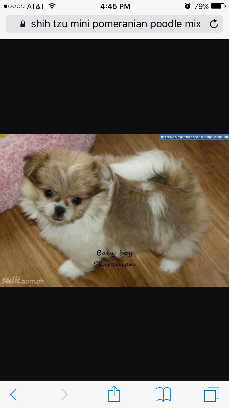 Pin By Angie1146 On Puppies Cute Animals Pomeranian Mix Dogs