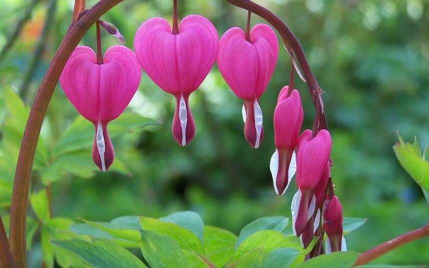 Winter-Tulpen Blumenzwiebeln blühen an Weihnachten winterhart mehrjährig rosa