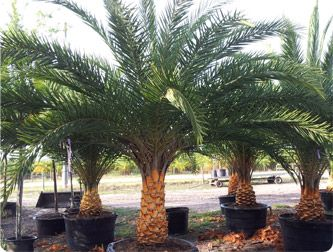 Central Florida Trees Google Search Florida Trees