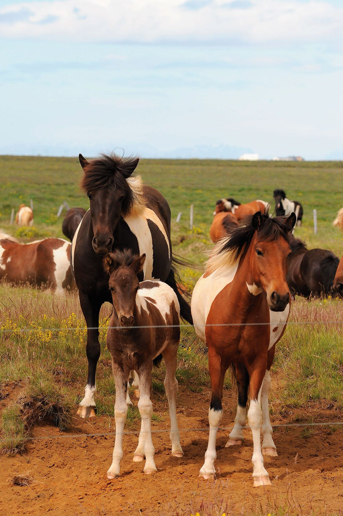 Pienikokoinen, vahva isalnninhevonen on maailman vanhimpia hevosrotuja. Ratsain tehdyt vaellusmatkat ovat maassa suosittuja, mutta hevosen selkään pääsee myös Reykjavikin ympäristössä.