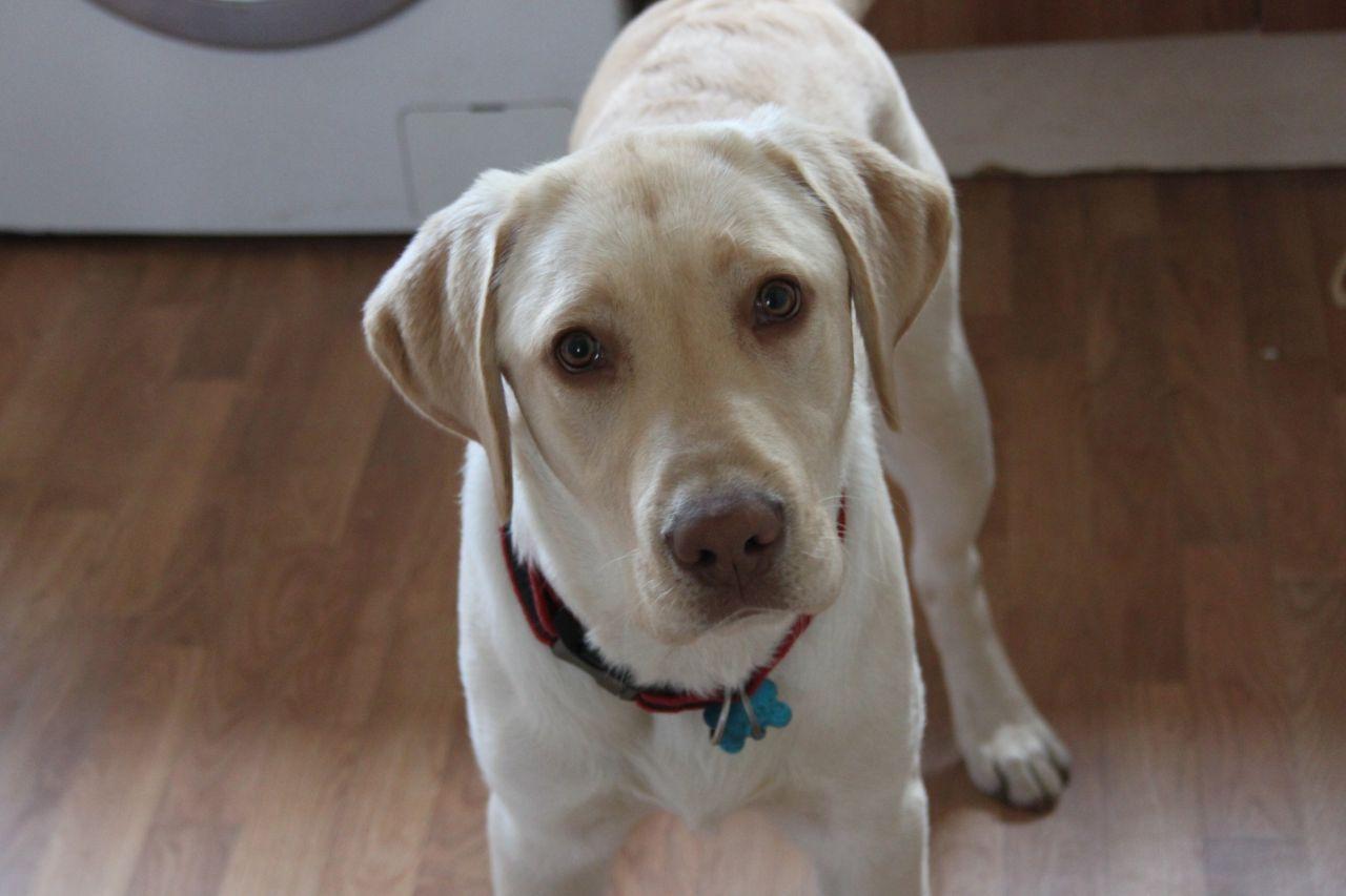 Male Yellow Labrador Retriever Labrador Retriever Yellow Labrador Retriever Yellow Labrador