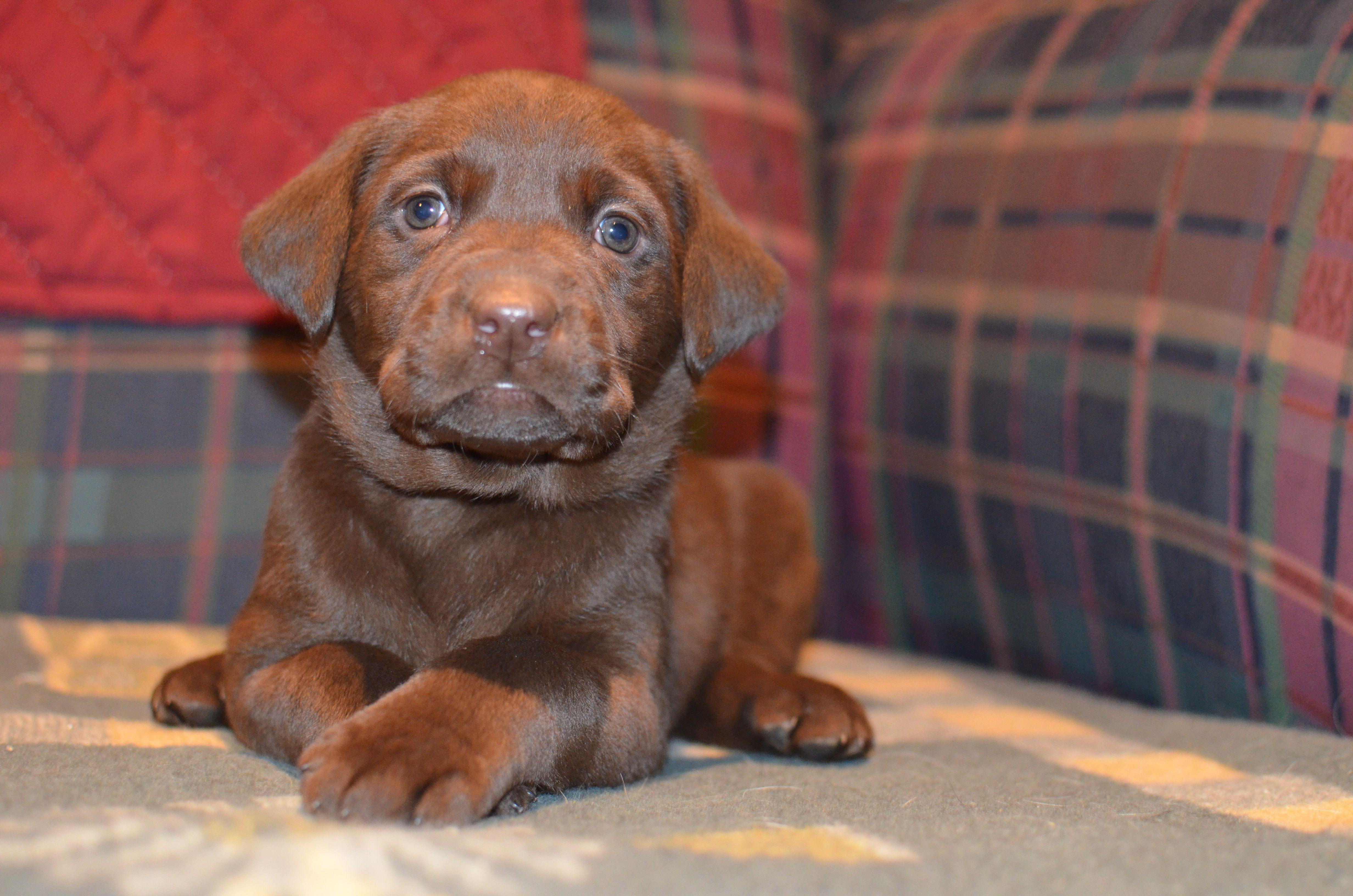 Chocolate female at birddoghill labrador retriever