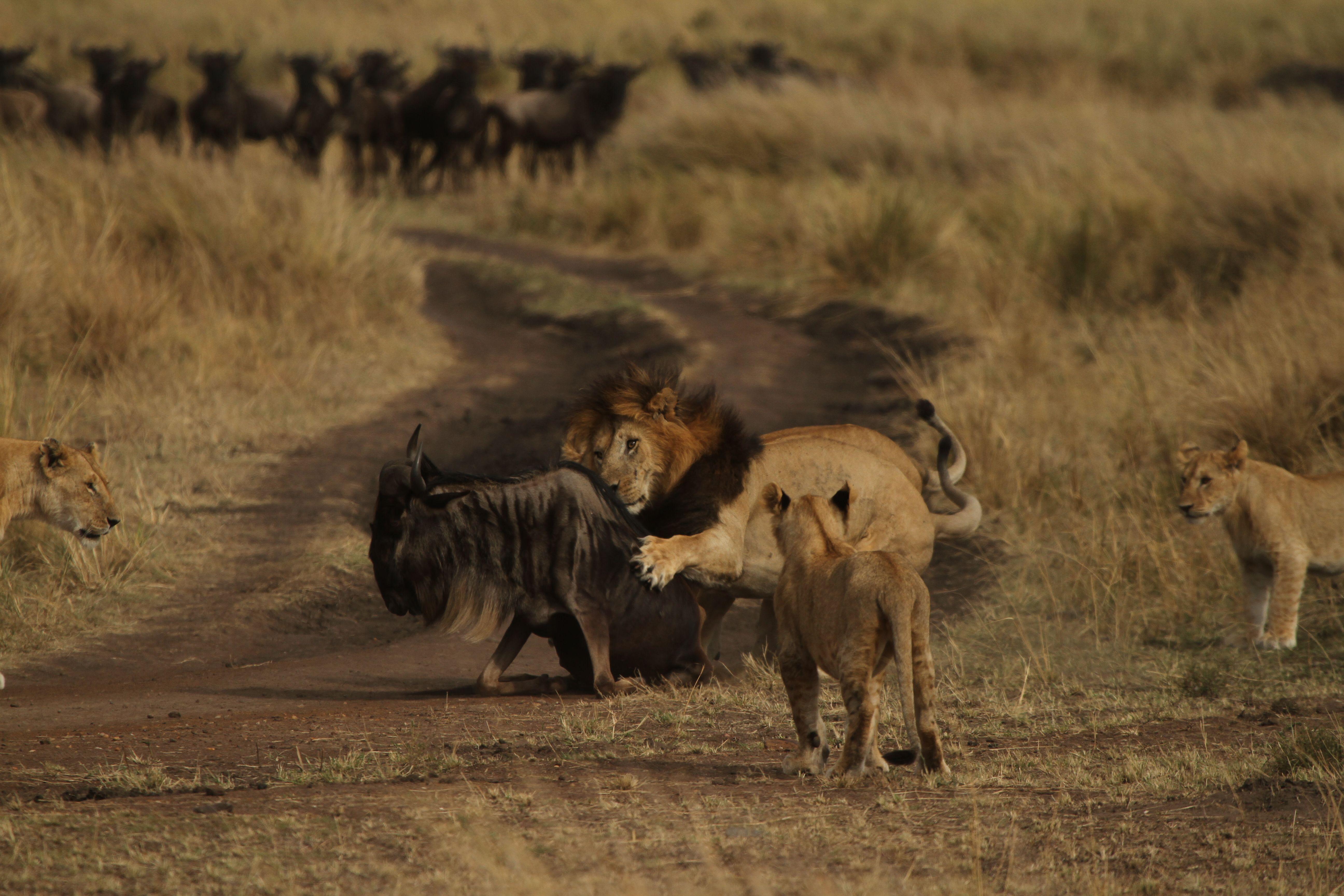 несъедобные части саванна львы охота видео говорил, она