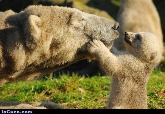 "Polar bear mama and baby ""kissing"""