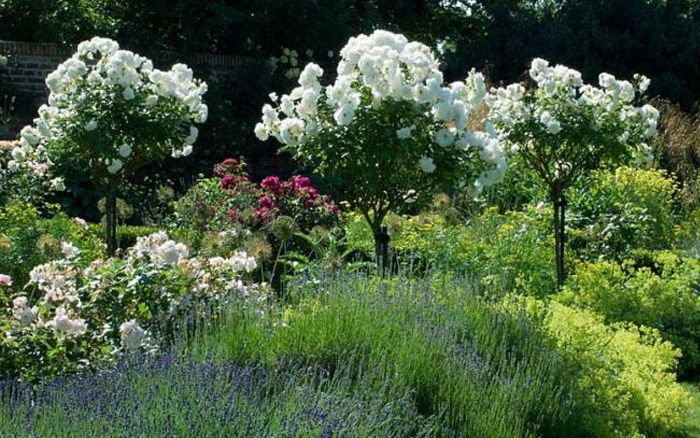 The Right Way To Prune Back A Rose Bush Rose Trees Standard Roses Rose Bush