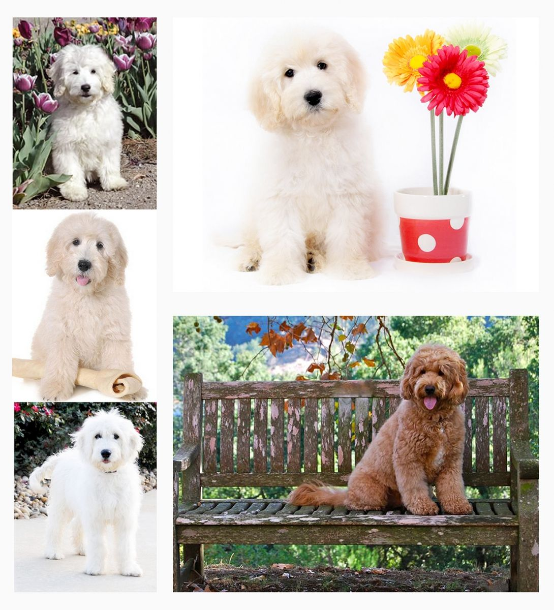 These are all F1 Teddy Bear Goldendoodles from Smeraglia