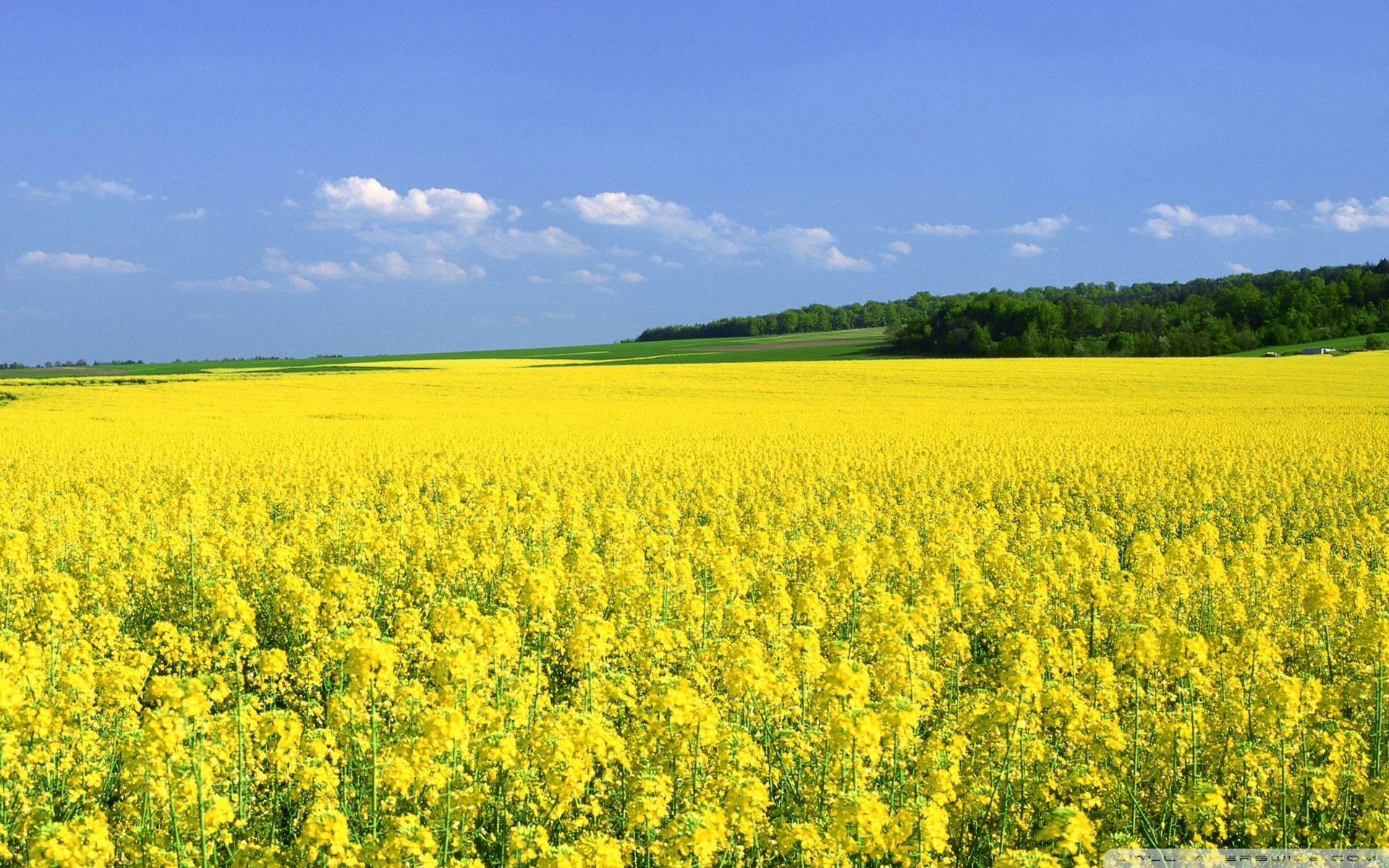 Flower Fields Landscapes Google Search Field Wallpaper Yellow Fields Mustard Flowers