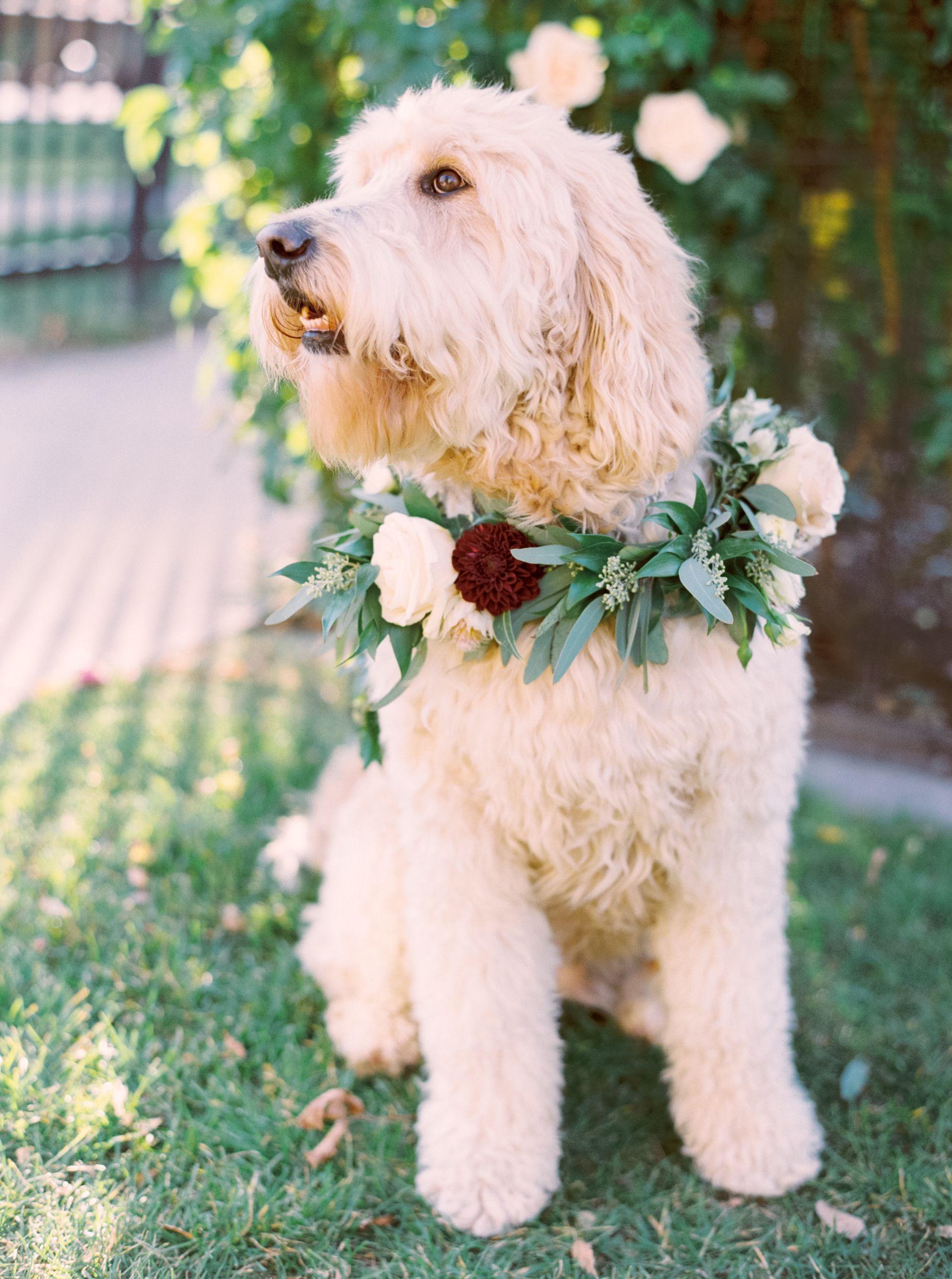 Calgary Wedding Photographer Fine Art Film Editorial Photographers Golden Doodle Wedding Dog Puppy Wedding Dog Collar Floral Dog Collars Dog Flower