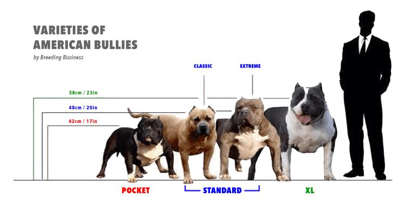 Pit Bulls Vs American Bullies In 2020 American Bully Bully Dog Bully Breeds