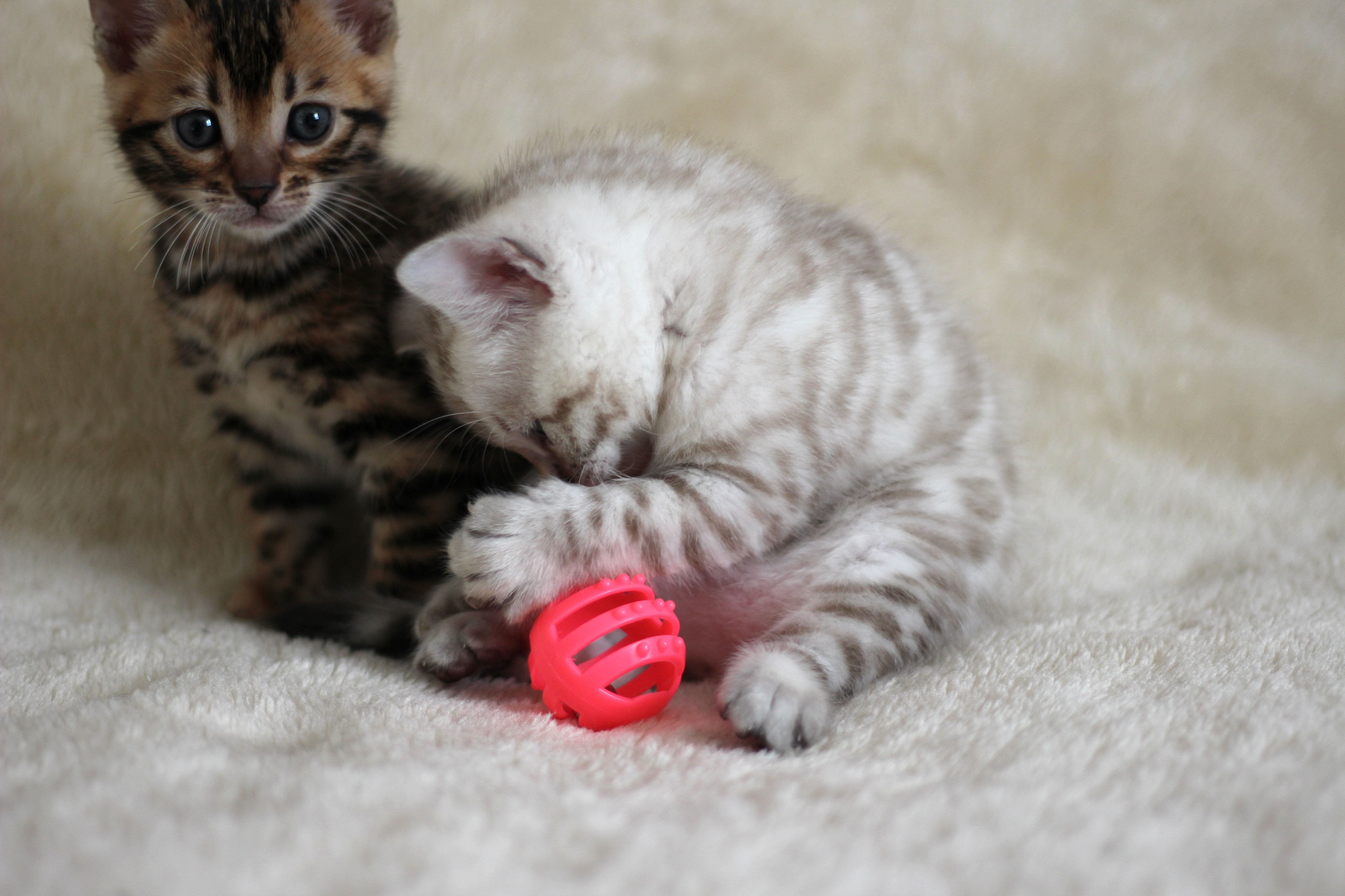 Pin By New Era Bengal Kittens On Kittens For Sale Bengal Kitten Bengal Cat Kitten For Sale