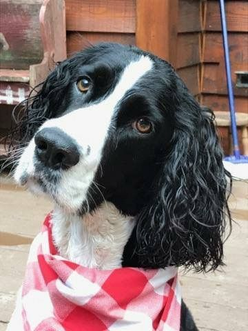 Looks Like Maggie Cute Little Dogs Springer Spaniel Puppies Spaniel Breeds