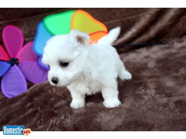 Maestro Gorgeous Male Ckc Maltese Puppies Stop Right There And