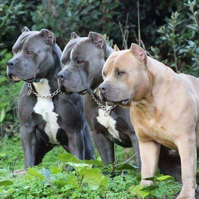 Pin On Bully Pittbulls