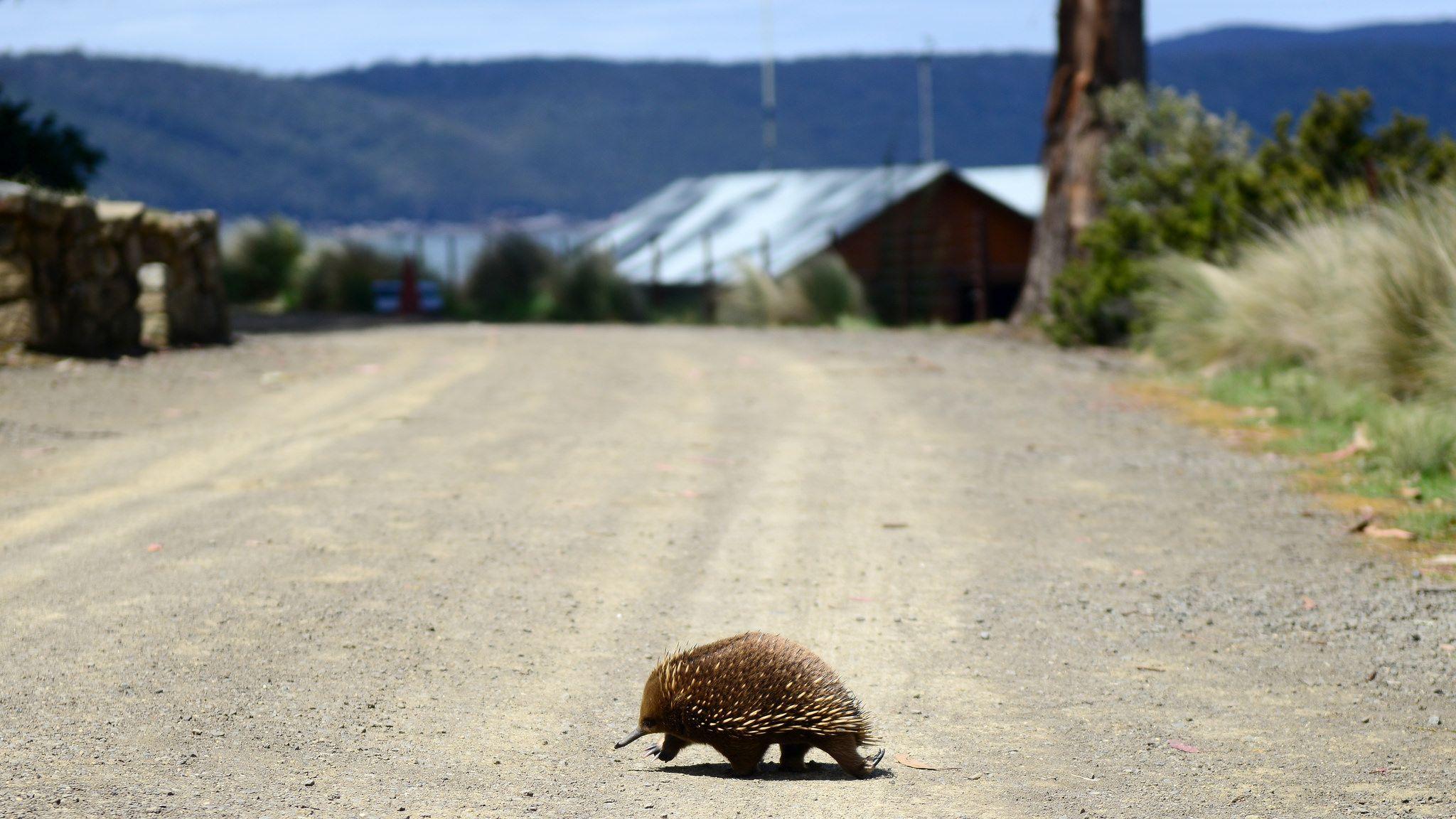 Port Arthur Tasmania The Animals Of Oz Port Arthur