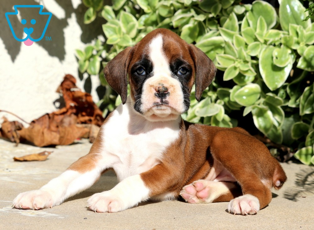 Sassy Boxer Puppy For Sale Keystone Puppies Boxer Puppies