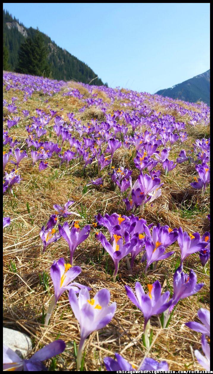 Krokusy W Dolinie Chocholowskiej Flowers Crocus Image