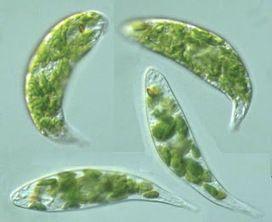 tipos de protozoos en algas