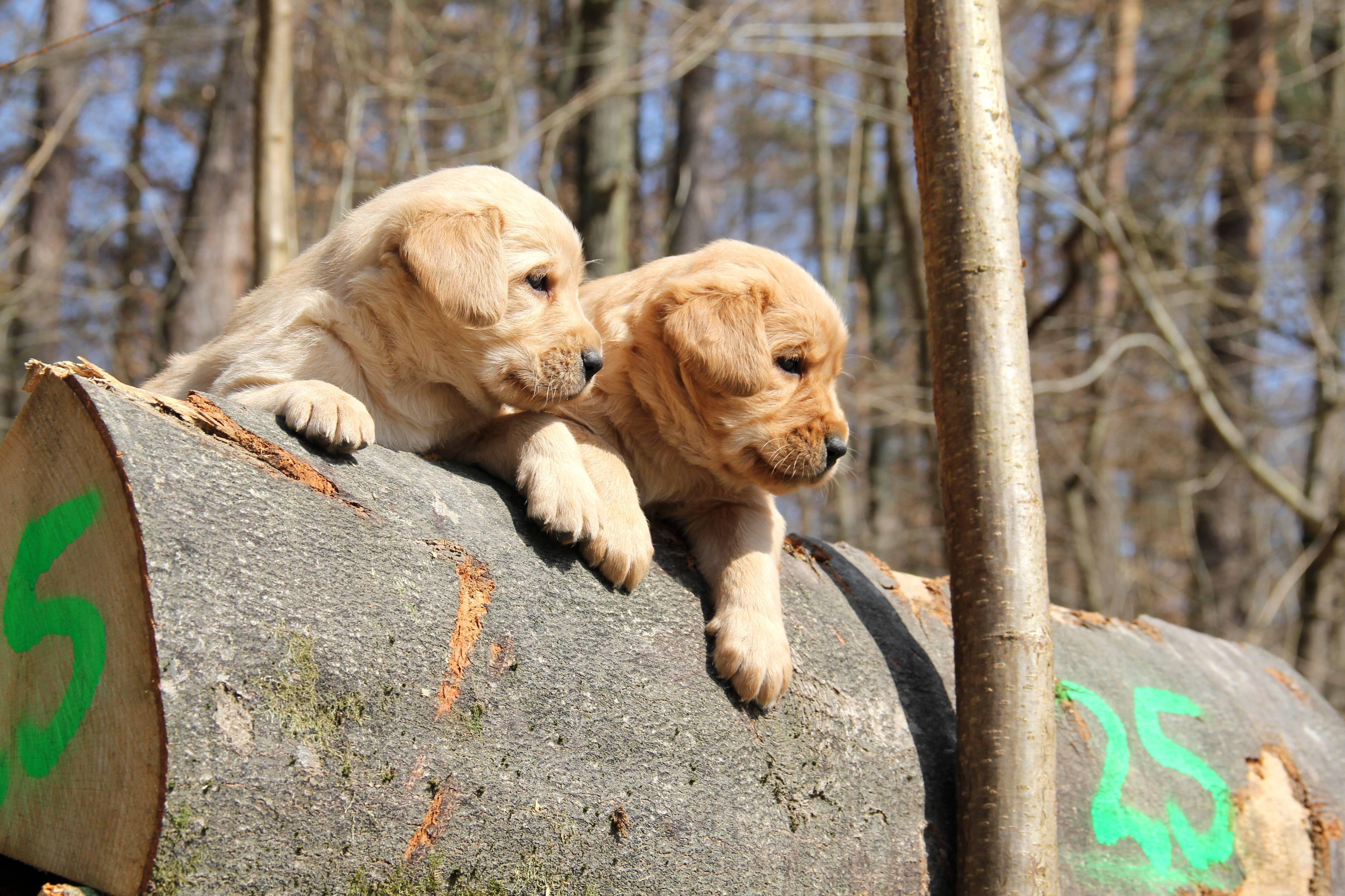 Labradoodle Zucht Vom Seebachtal Labradoodle Labrador Retrievers Golden Retriever