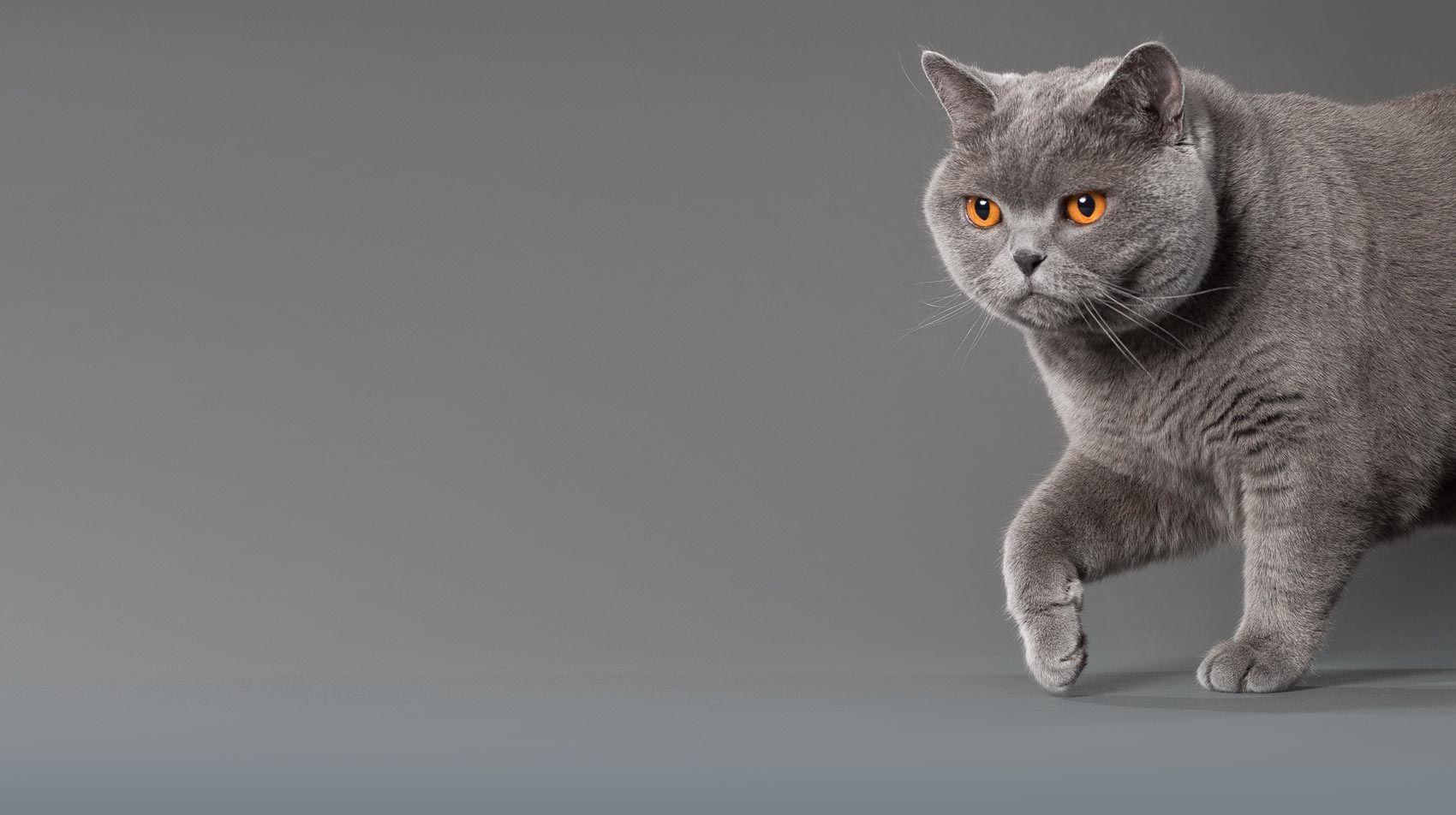Britisch Kurzhaar Katze In Reiner Wohnungshaltung Mit Bildern