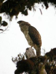 Papuan Eagle(Harpyopsis novaeguineae)