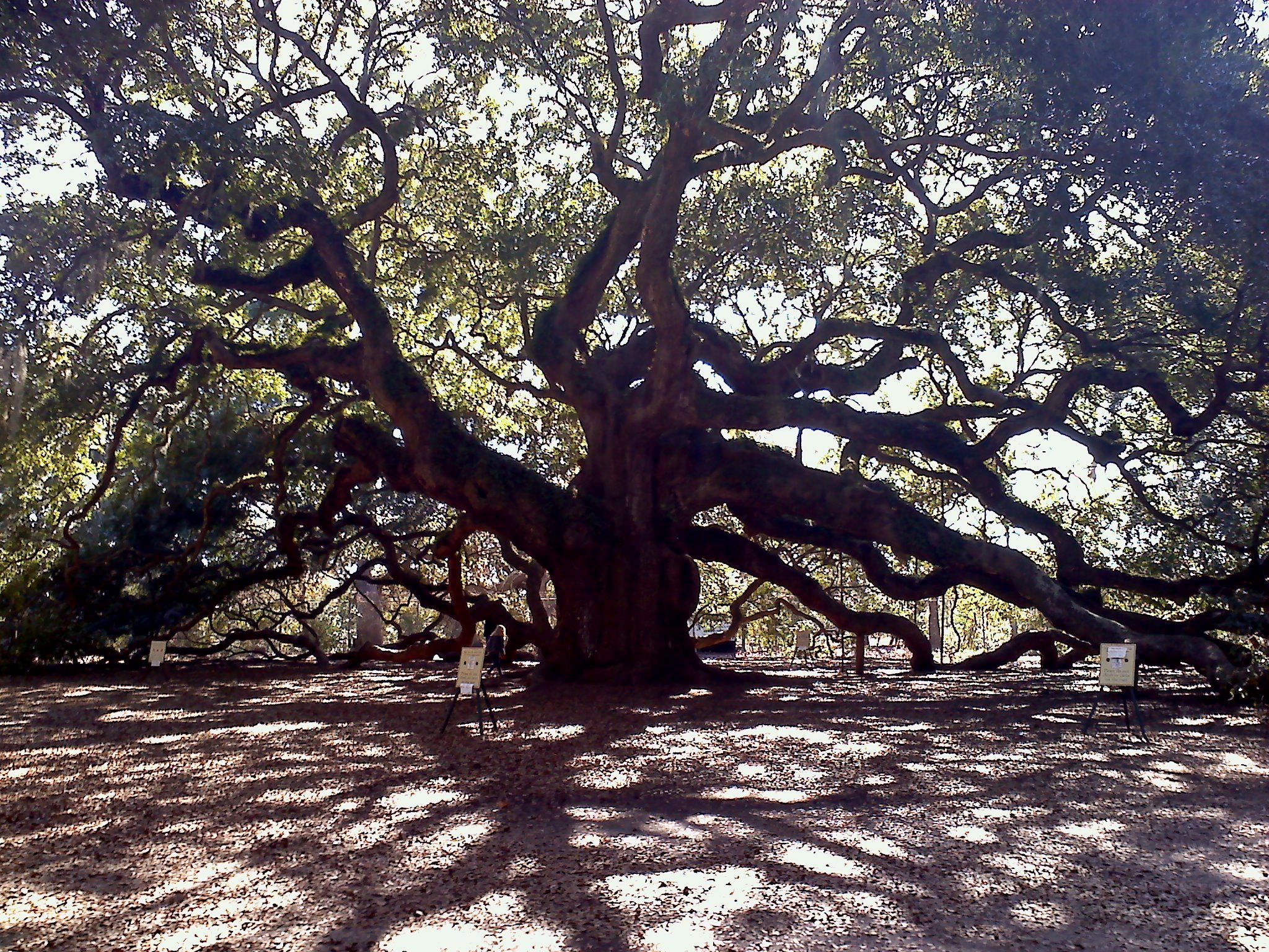 Angel Oak. 1,500 year old tree on Johns Island in Charleston, SC. A beautiful piece of history!