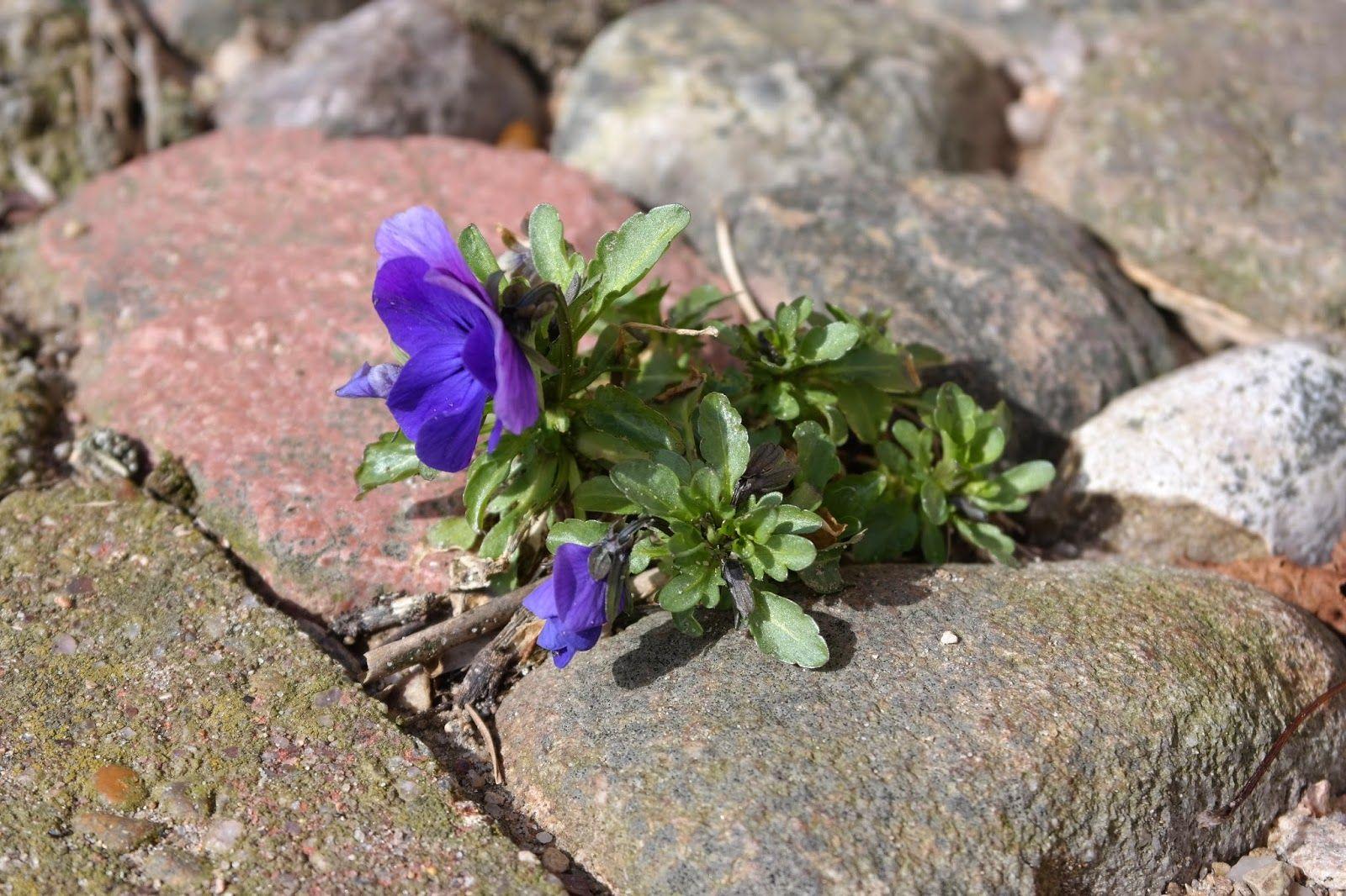 HAVEHJERNEN: Opsamlede hornvioler