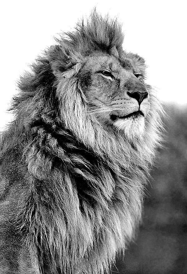 Lion close up | cray lady | Pinterest | Leones, León y Animales