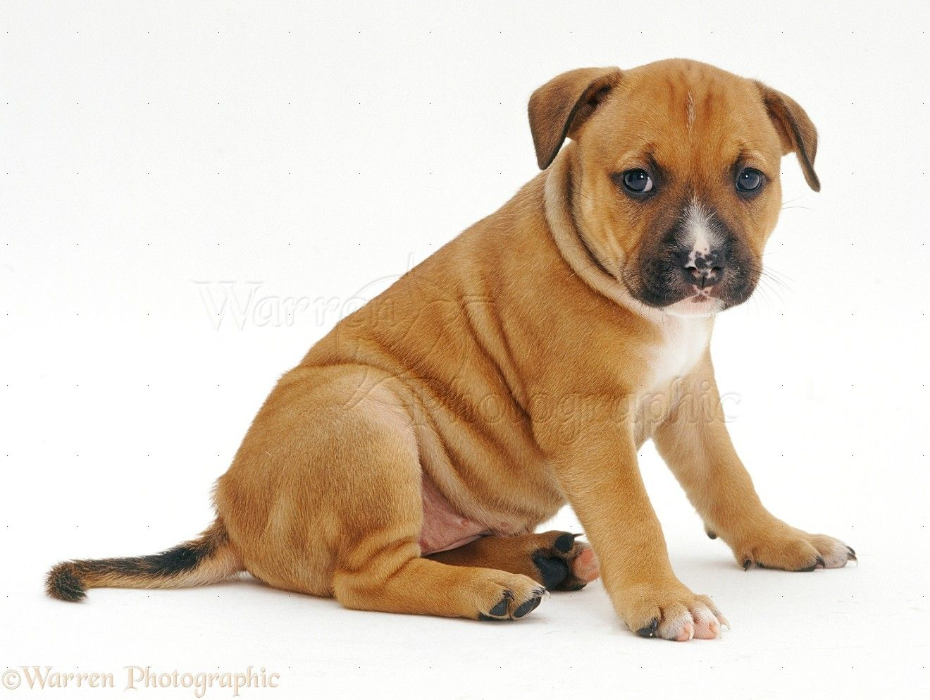 Red lab puppies colorado