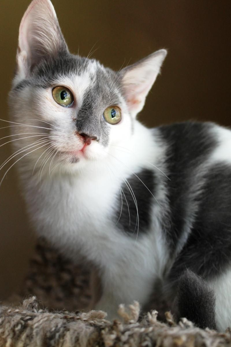 Adopt Levin on | Pinterest | Short hair, Animal and Cat