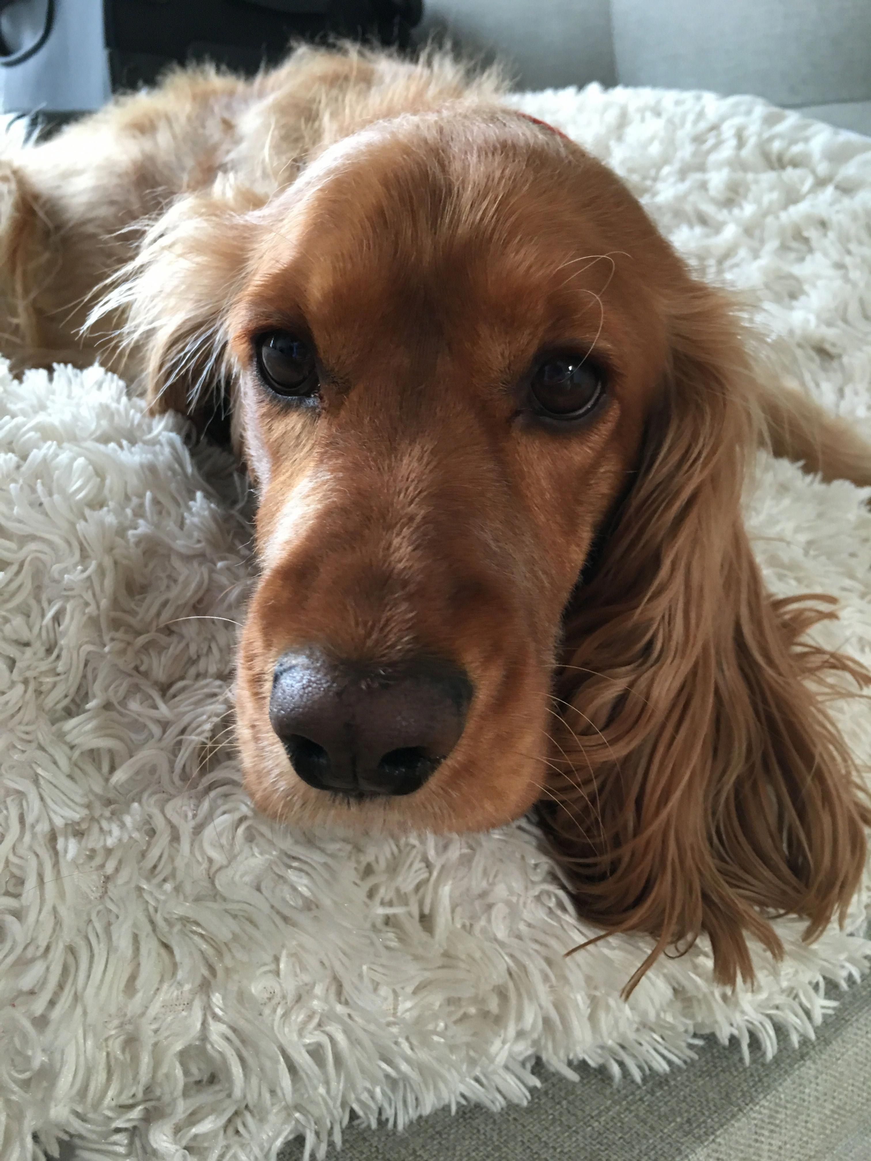 Fieldcockerspaniels Cocker Spaniel Dog Beautiful Dogs Cute Dogs And Puppies